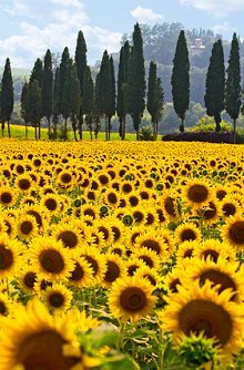 Welcome. Library Image: Sunflower Field